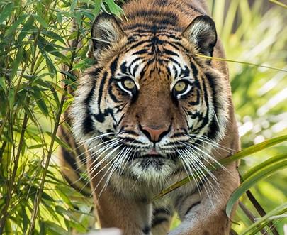 l'Œil du Tigre...