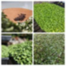 microgreens collage.jpg