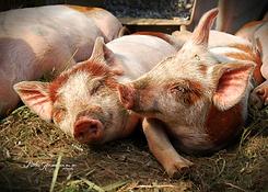 P14 01RA Piglets Resting