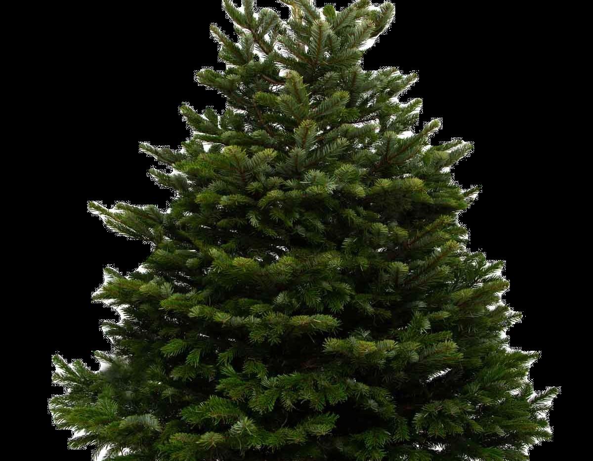 9ft-nordmann-fir-christmas-tree_edited.p