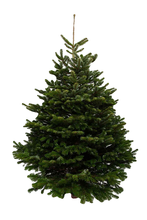 4ft Nordmann Fir (Collect 5 Dec 12-2) (Return 2 Jan 12-2) f