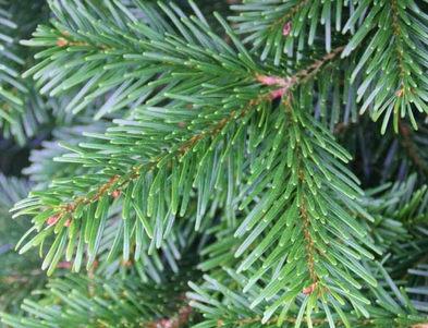 Nordmann Fir Branches.jpg