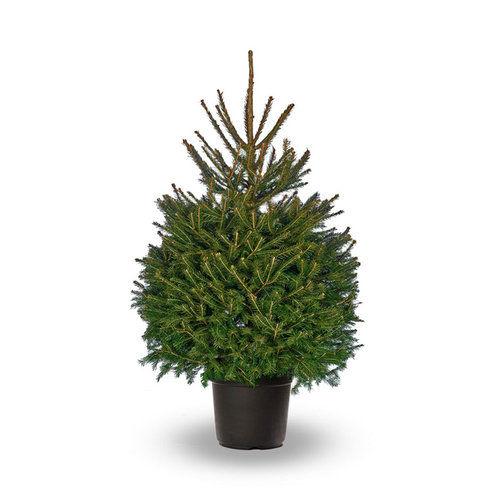 2 foot christmas tree rental