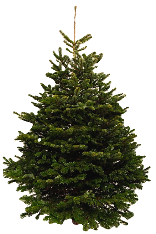 9ft Nordmann Fir Christmas Tree
