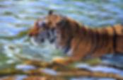 tigre-in-acqua-181297.jpg