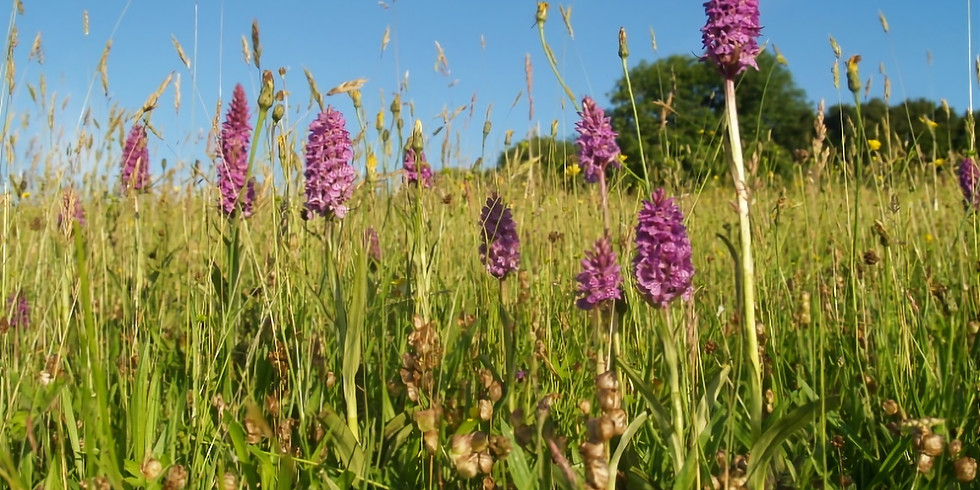 Orchid and Hay Flower Meadow Walk  (Evening)
