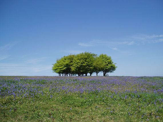 Carpet of blue bells at seven sisters