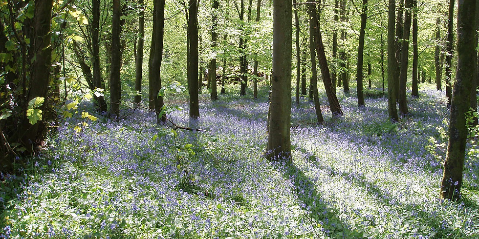 Bluebells and Other Spring Flowers Walk