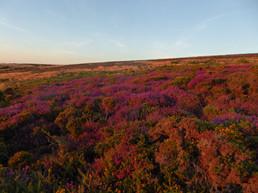 Heathland by Philip Comer