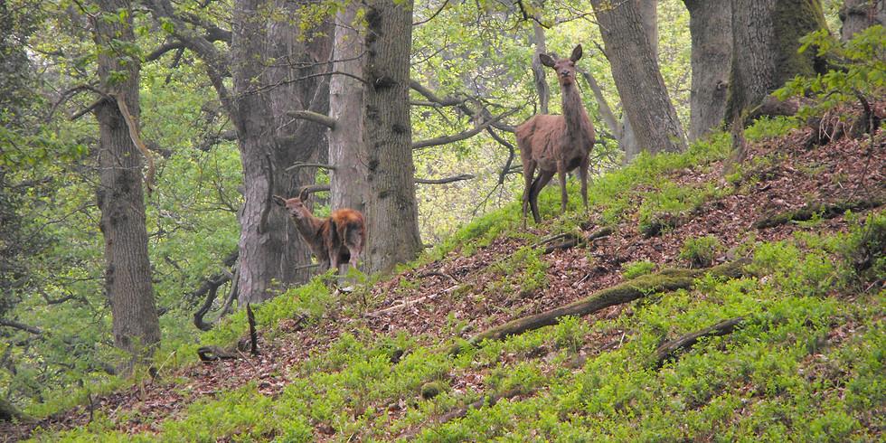 Deer Walk - longer