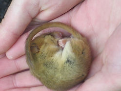 Dormouse at Cothelstone Hill