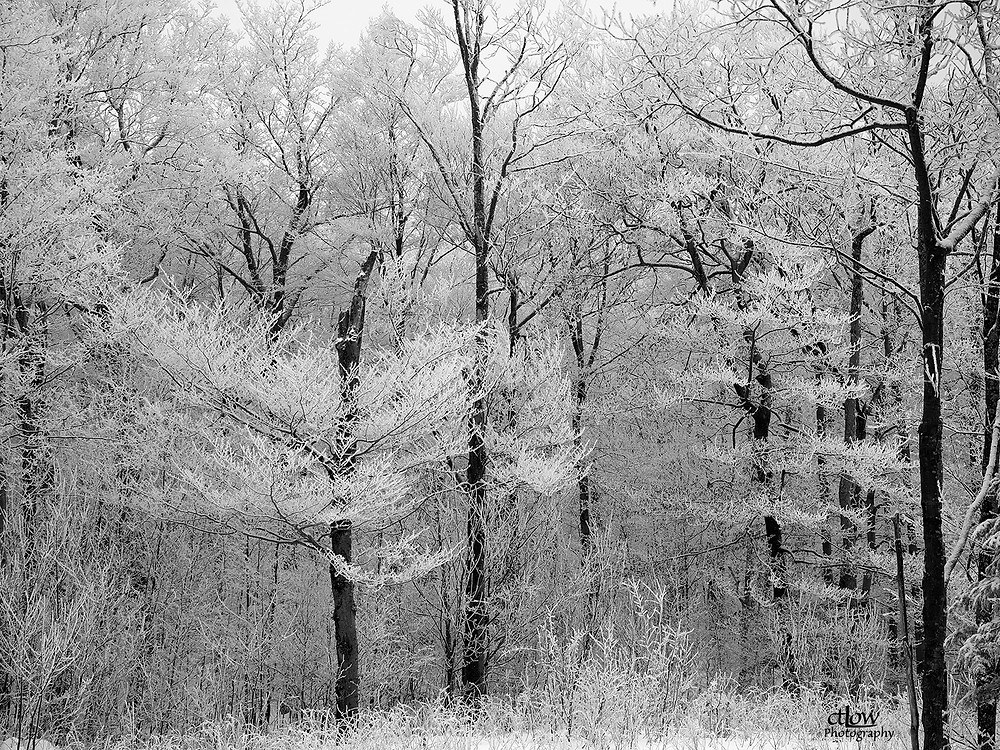 Snow-laden branches, downhill skiing at Mont Ste-Marie