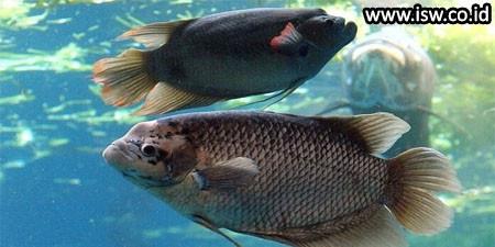 Mengenal Dan Memahami Jenis Ikan Gurame