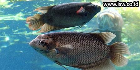 Jenis Jenis Ikan Gurame