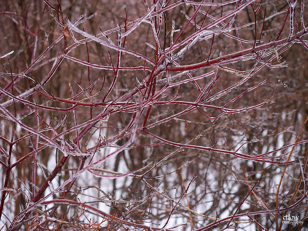 Icy Red Branches