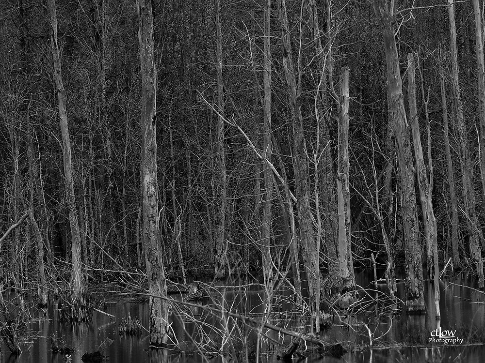 dead trees bordering a swamp