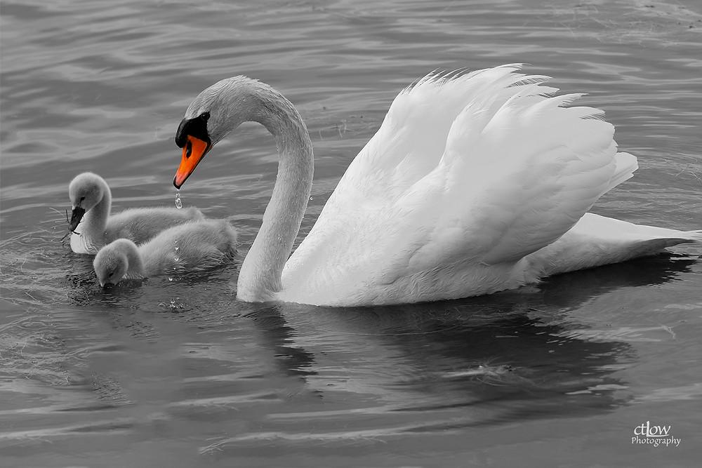 mute swan cygnets monochrome
