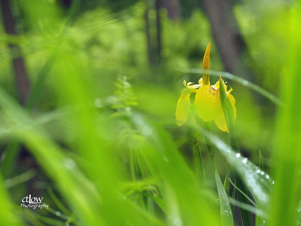 iris, grasses, excessive depth-of-field