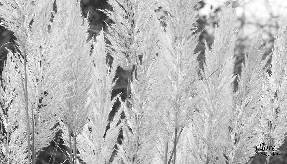 Feathery Winter Shrub - monochrome