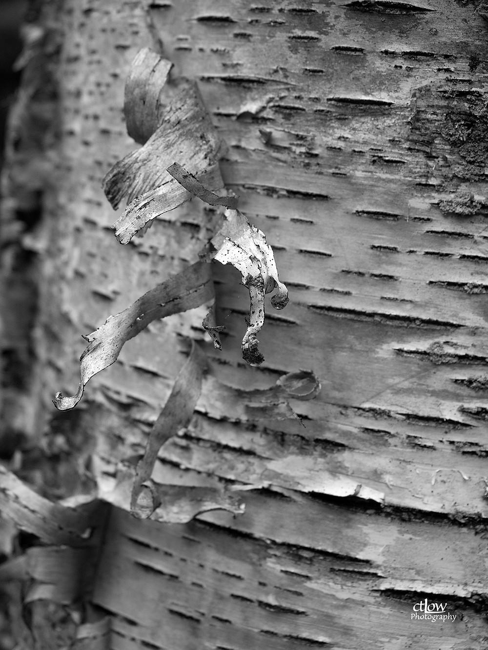 paper birch detail