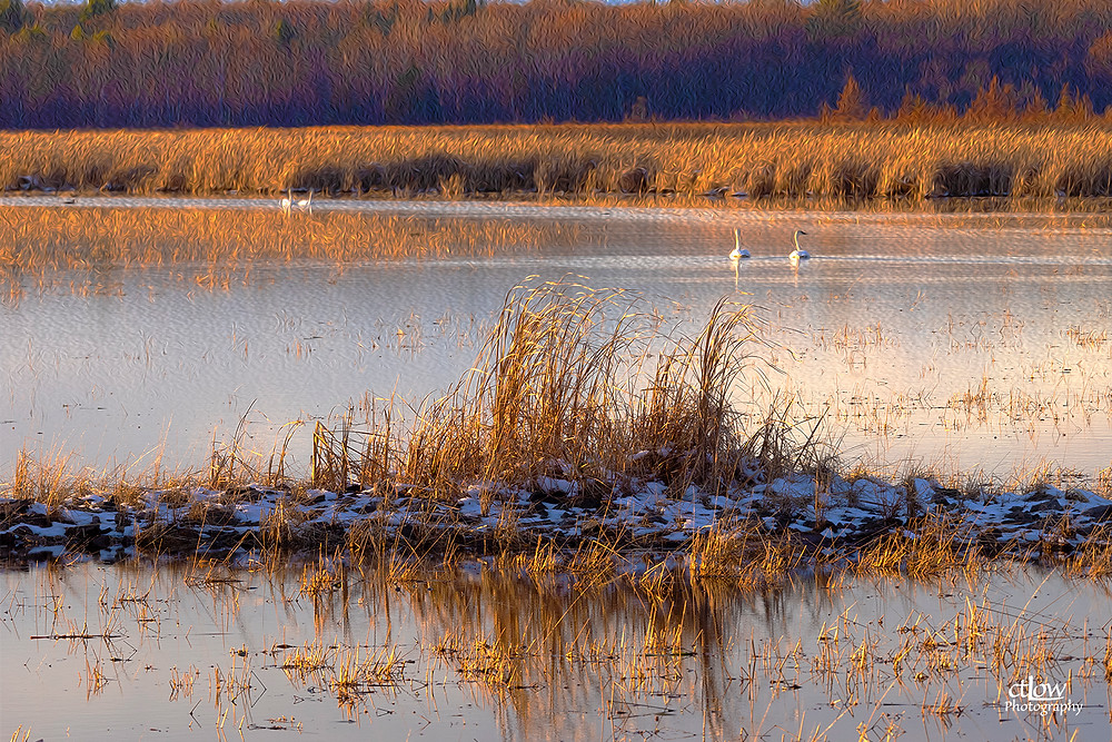 Back Pond, Golden Hour, Autumn swans