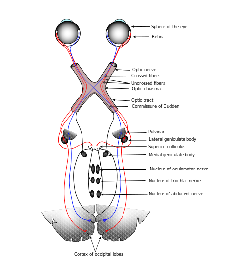 optic nerve pathways
