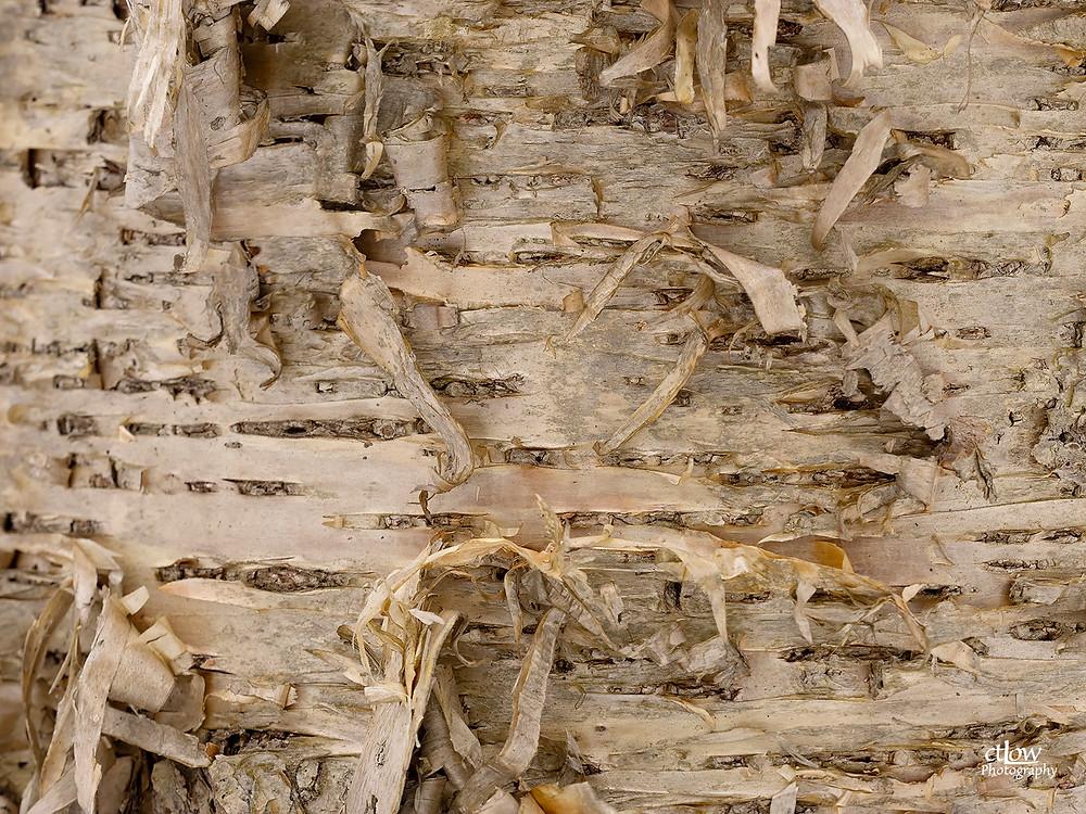 Yellow Birch - characteristic scroll-like bark