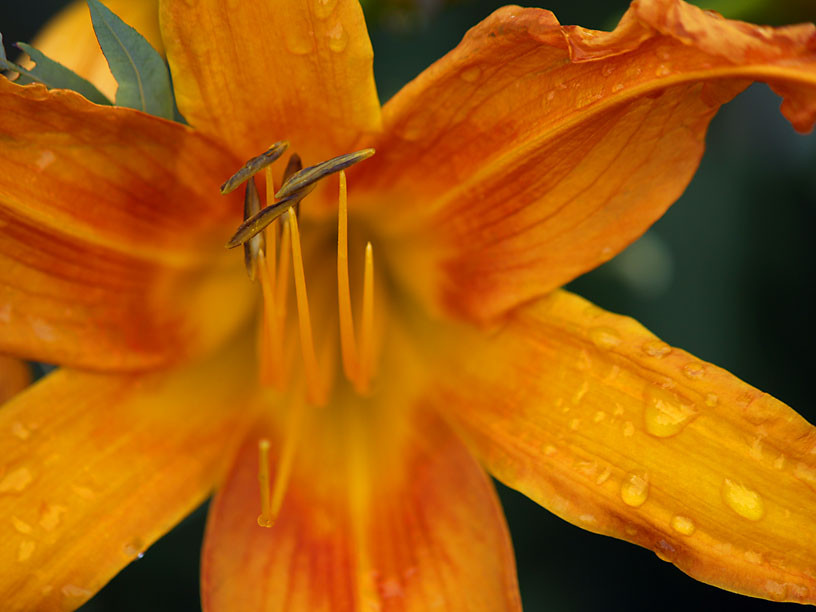 Day Lily after rain