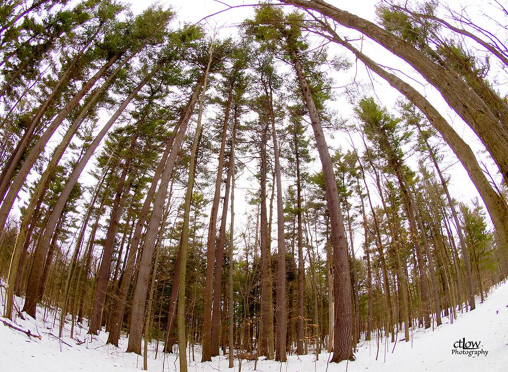 Eastern White Pine in Winter fisheye lens