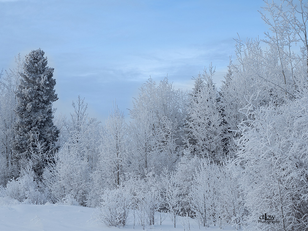 snowy trees in northern Manitoba