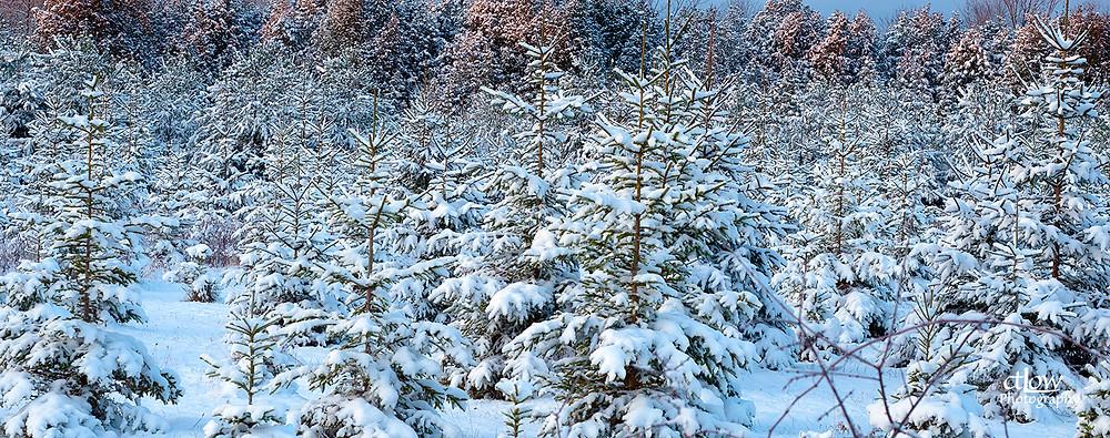 Snowy evergreens at sunrise