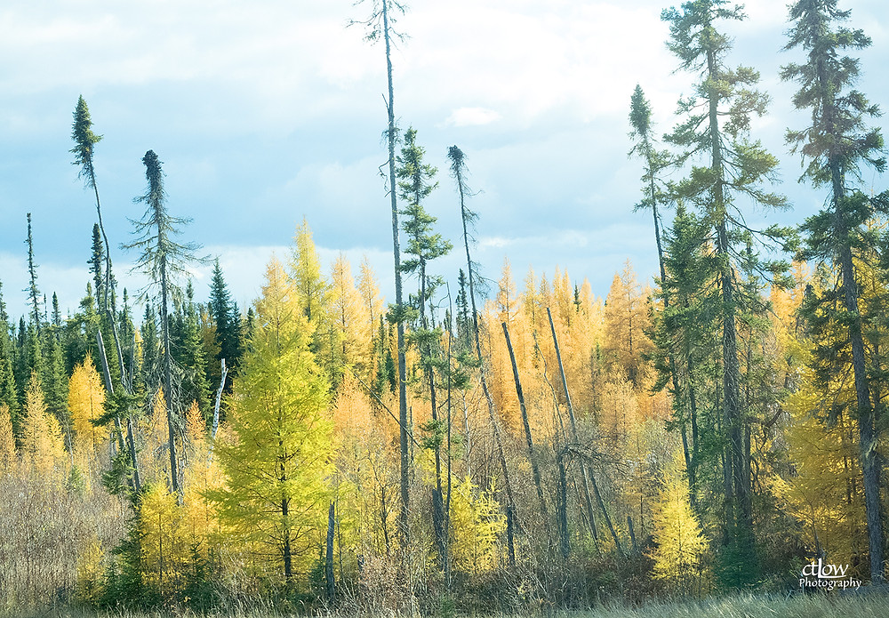 autumn Tamarack and Black Spruce in northern Manitoba
