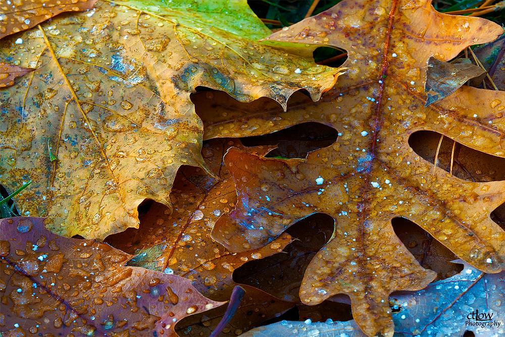 Autumnal oak leaves, frozen dew