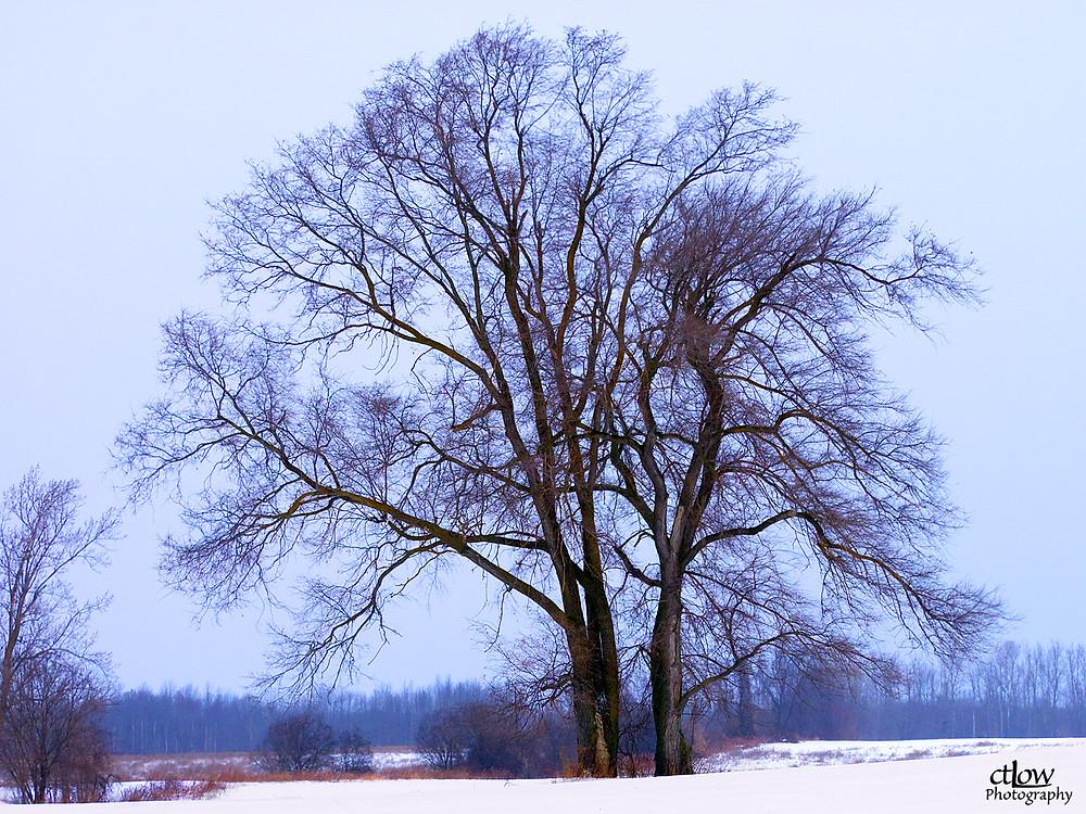 Winter Tree, distance illusion