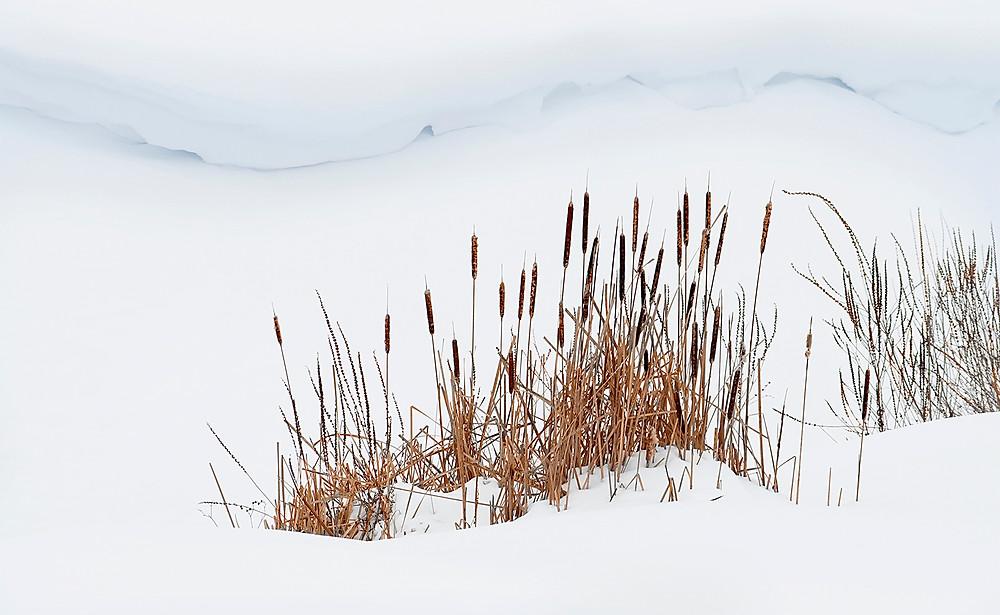 Bullrushes in snow
