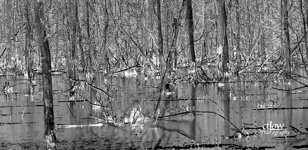 dead trees, swamp, and a specific editing filter