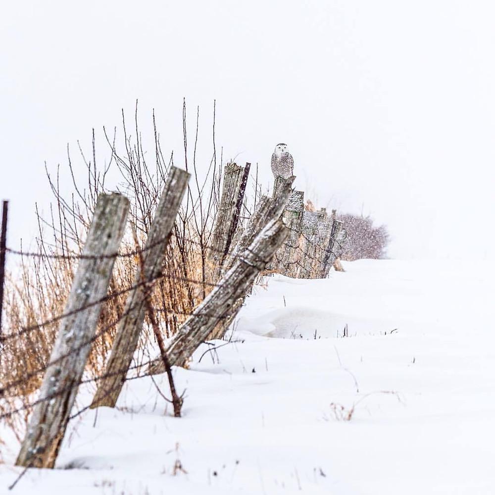 fence snow owl