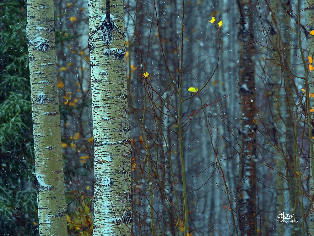 Birch stand, snowing, northern Manitoba