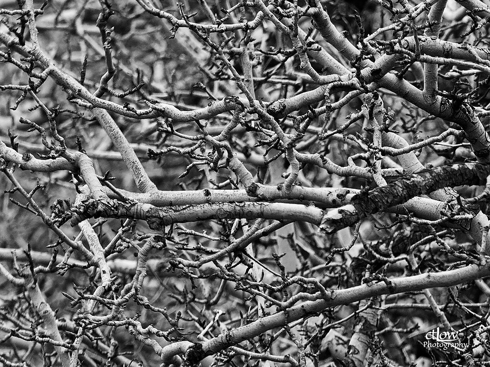 Tangle of fruit-tree branches in the dormant season