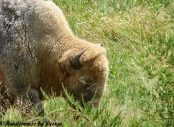 Sacred White Bison