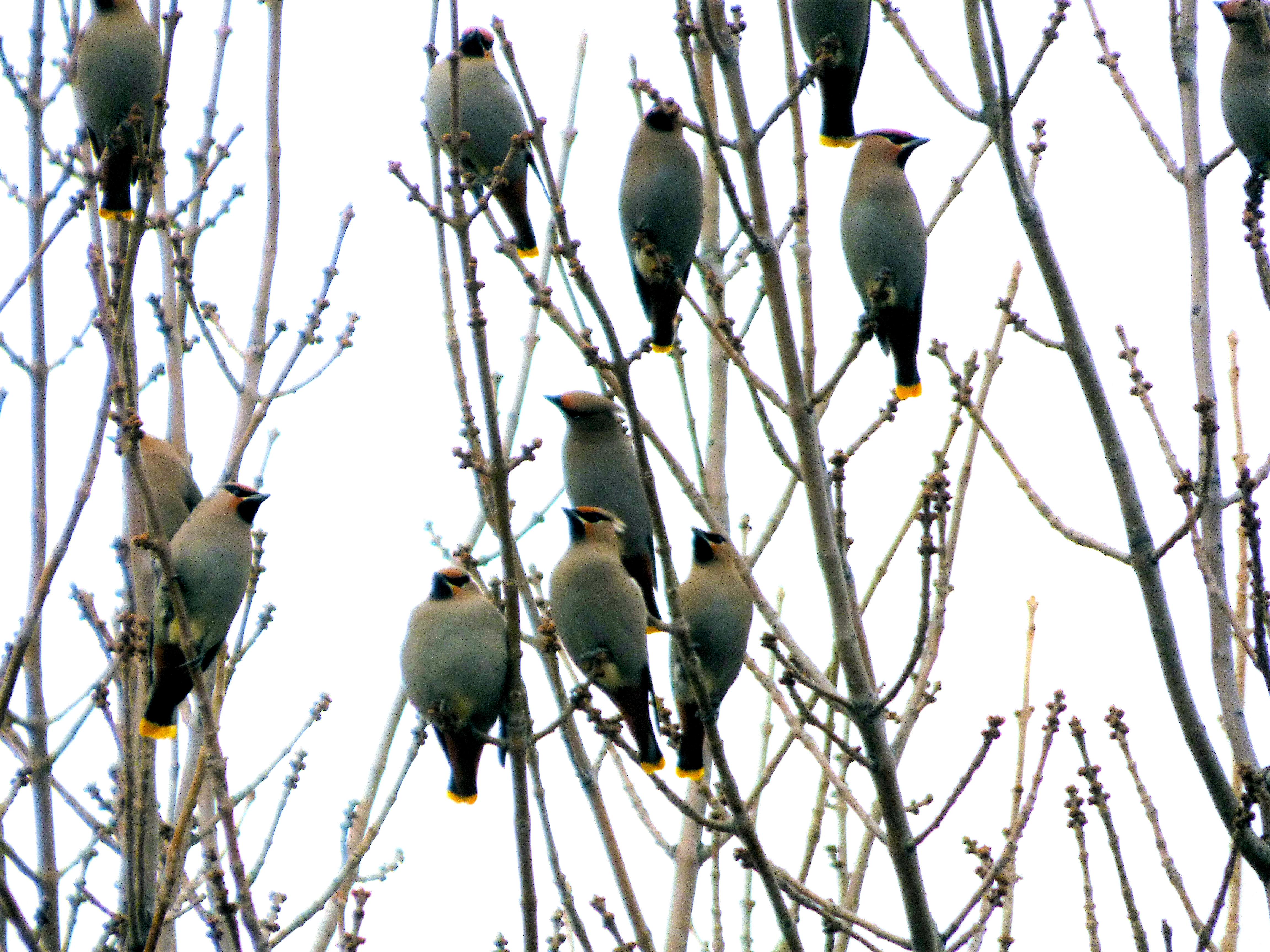 flock of Cedar Wax Wings