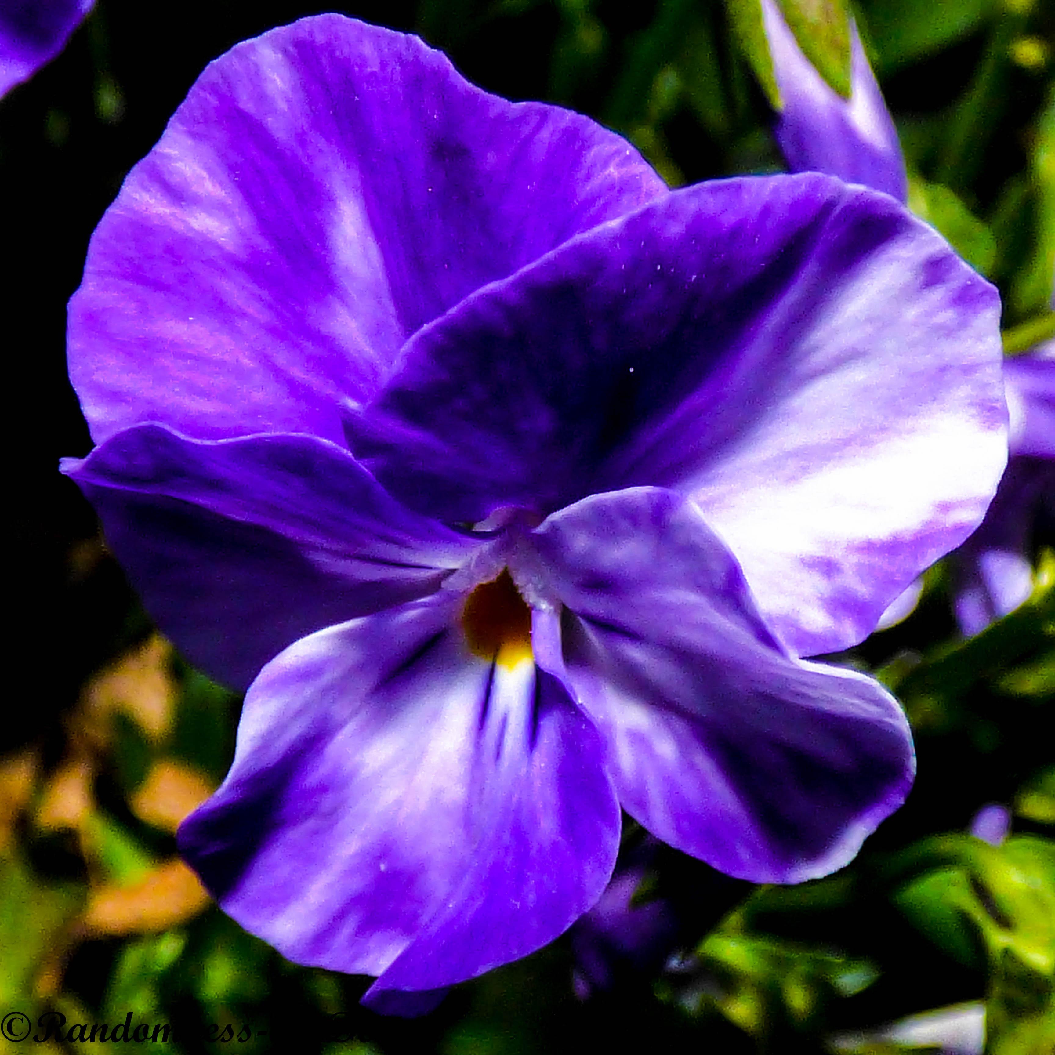 Study in Purple