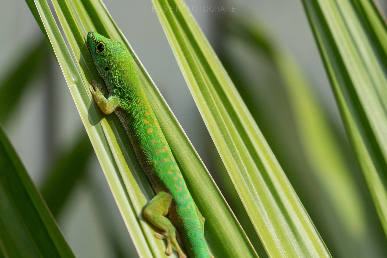 esser-fotografie-seychellen-gecko