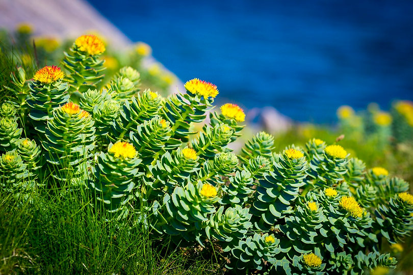supplement-rhodiola-rosea.jpg