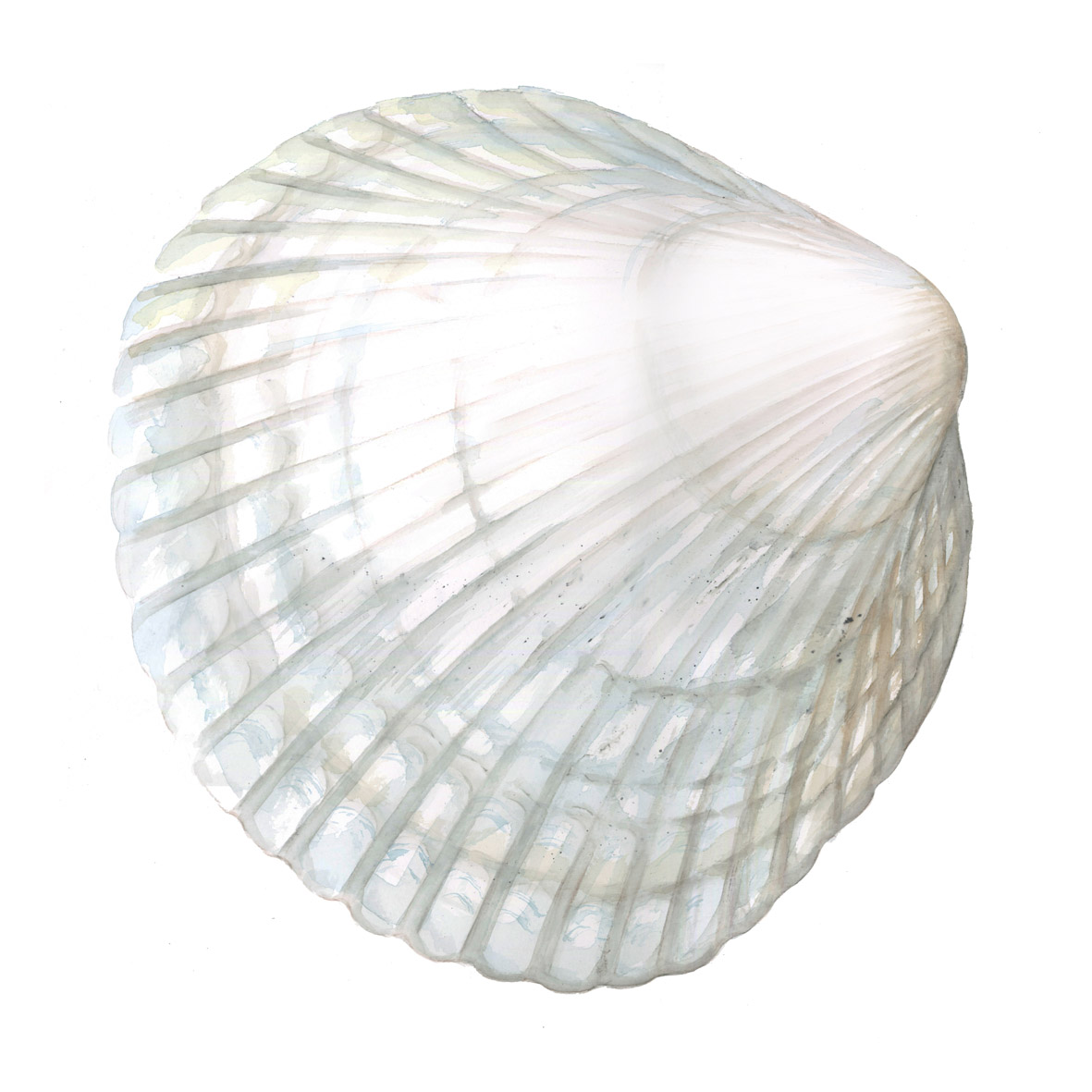 White Cockle