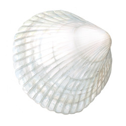 White Cockle