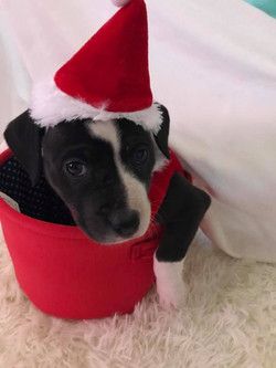 Santa Mila (female) 8 wks