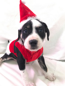 Santa Hope (female) 8 wks