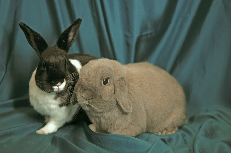 A small gray lop and a black & whtie bunny looking inquisitive