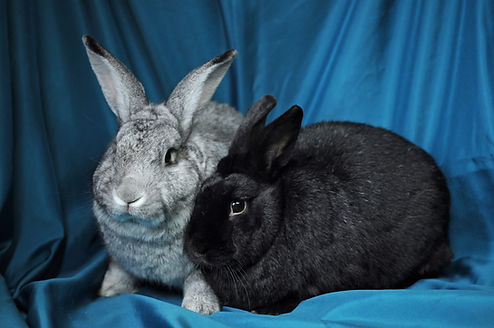 Two snuggly bunnies, one black and one gray